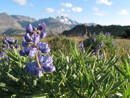 Monkshood in the Bighorns