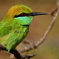 Little Green Bee-eater (Sara-D) Tags: green nature little lovers soe meropsorientalis beeeater littlegreenbeeeater abigfave colorphotoaward theunforgettablepictures meropsorientalisorientalis thewonderfulworldofbirds