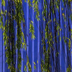 Sauce urbano (superkoyron) Tags: verde beautiful azul arquitectura sauce colorphotoaward magicunicornverybest magicunicornmasterpiece adrinnesmagicalmoments