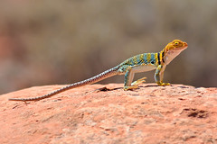 Collared Lizard Scanning for Prey (Fort Photo) Tags: wild nature animal utah ut nikon reptile wildlife lizard moab common eastern 2009 herp reptiles herps herpetology yellowheaded d300 collaris collaredlizard iguania herpetofauna 300f4 crotaphytus crotaphytuscollaris