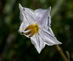 Solanum carolinense (Solanaceae) (-- Green Light Images --) Tags: usa august 2009 solanaceae solanales dsc5091 usaaugust2009