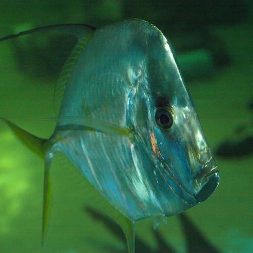 Clearwater Marine Aquarium: Lookdown
