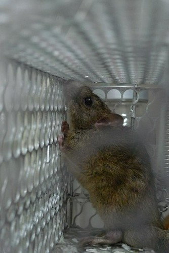 Trapped Rat