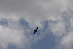 DSC_9887 (jammybilly) Tags: park castle birds craigmillar birdsofcraigmillarcastlepark