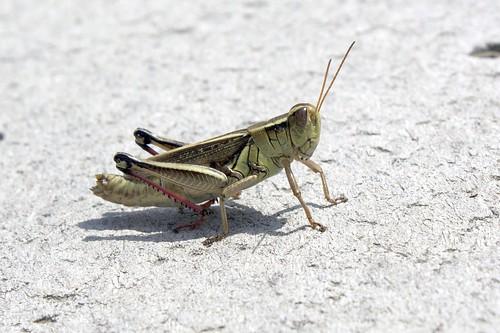 Grasshopper poop - photo#10
