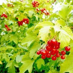(blincom) Tags: red plant green nature square ukraine sq viburnum schneeball 500x500 blincom