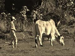 A Orillas de un Charco (Hector Pace) Tags: byn nature sepia fuji finepix toro buey sebu s100fs