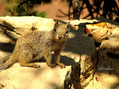 A Squirrel in the Grand Canyon (abrideu away on Holiday) Tags: arizona canon squirrel grandcanyon ngc npc goldwildlife virtualjourney abrideu mygearandme mygearandmepremium mygearandmebronze mygearandmesilver