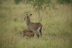 genus: Kobus. Female Defassa Waterbuck with suckling young - Queen Elizabeth NP, Uganda