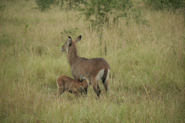 Female Defassa Waterbuck with suckling young - Queen Elizabeth NP, Uganda