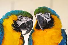 [フリー画像] [動物写真] [鳥類] [インコ科] [ルリコンゴウインコ]       [フリー素材]
