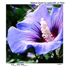 "blue Hibiscus dream:  Hibiscus flower violett purple violet Straucheibisch ""Hibiscus syriacus"" Sharonrose ""Syrischer Eibisch"" Garteneibisch ""Rose of Sharon"" ""Shrub Althea"" ""Wilder Hibiscus Strauch"" (eagle1effi) Tags: flora hibiscus darkblue blue canon canonpowershotsx1is canonsx1 regionstuttgart tubingen canonmacro macro byeagle1effi artandexpression masterclass naturemasterclass colorful iso400 canonpowershotsx1isreferenceshot tuebingen germany deutschland badenwuerttemberg wrttemberg stadttbingen effiartgermany eagle1effi effiarteagle1effi violett purple violet straucheibisch hibiscussyriacus sharonrose syrischereibisch garteneibisch roseofsharon shrubalthea wilderhibiscusstrauch nature blume yourbestoftoday fauna supermacro supermacroon2 foliage blumen natur damncool flower fiori fiore flowers beautifulcityoftubingengermany beautifulcityoftbingengermany tubinga tbingen dibeng dibenga effiart kunst erwin effinger edition tubingue flickr bestof art artistic ae1fave"