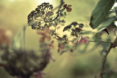 carnivorious hydrangeaceae