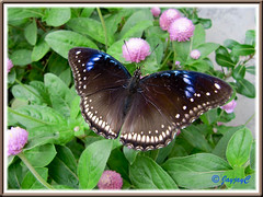 Hypolimnas bolina jacintha (Jacintha Eggfly), wings fully spread on Globe Amaranth