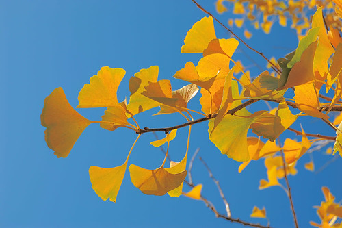 Missouri Botanical Garden (Shaw's Garden), in Saint Louis, Missouri, USA - yellow Ginko leaves in Autumn