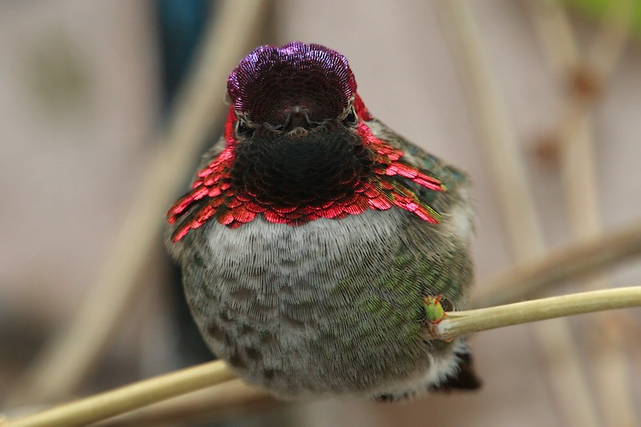 Anna's Hummingbird 1211091-2