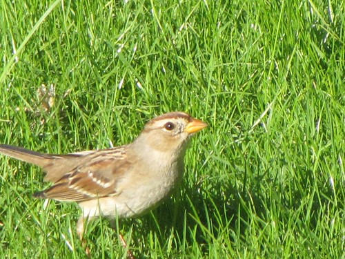 chipping sparrow-2