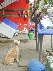 Dog begs for food from monkey