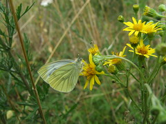 Green-veined white Butterfly. (Man & Crow) Tags: basingstokecommon butterfliesbasingstoke naturewildlifehampshire