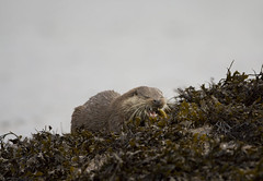 European Otter (Lutra lutra) 2 17 Dec-09-90 (tim stenton www.TimtheWhale.com) Tags: winter mammal scotland innerhebrides argyll otter isleofmull mull hebrides mustelid lutralutra europeanotter lochspelve landmammal eurasianotter