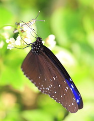 Striped Blue Crow / Euploea mulciber / () (TANAKA Juuyoh ()) Tags: blue macro high hires resolution 5d hi crow res striped  markii    euploea gunmaken  mulciber     kiryushi canonef100mmf28lmacroisusm