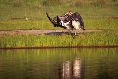Osprey vs Marabou