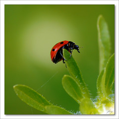 Slunko sedmiten  [The Ladybug] (fesoj) Tags: red detail macro green nature bug garden insect geotagged ladybird ladybug bud ladybeetle astra coccinellidae topseven flowerandinsect alemdagqualityonlyclub slunkosedmiten geo:lon=18338113 flowersinsect geo:lat=49581525