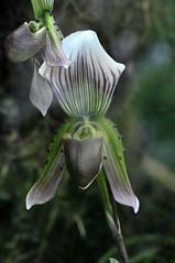 Frauenschuh (Michael Döring) Tags: orchidee bochum d300 frauenschuh botanischergarten querenburg ruhruniversitätbochum michaeldöring afs105microg