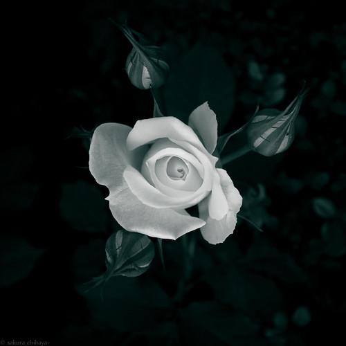 15628 Rose2011 #2