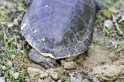 wMama_turtle_3