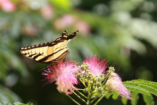 A butterfly gathers nectar from a mimosa flower in Adams County.