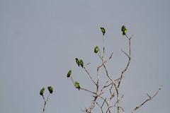 Amazona farinosa (Boddaert, 1783) (alrcardoso) Tags: amazona amazonafarinosa papagaiomoleiro papagaio curica jeru juru juruaçu ajuruaçu moleiro mealy parrot psittaciformes psittacidae birds aves amazonafarinosafarinosa