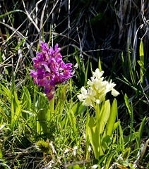 I colori delle orchidee selvatiche (giorgiorodano46) Tags: maggio2015 may 2015 giorgiorodano flowers wildflowers castelluccio umbria montisibillini fiorita orchidea orchideaselvatica wildorchids italy norcia