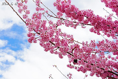 紅粉佳人櫻花@武陵農場 (SU QING YUAN) Tags: sakura flower taiwan a55 beauty beautiful pretty landscape 50150mmf28 sigma