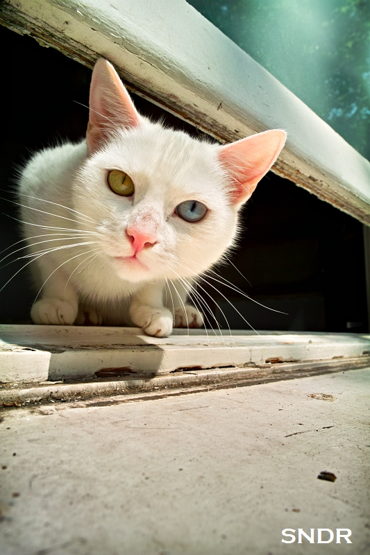 Cat with David Bowie Eyes