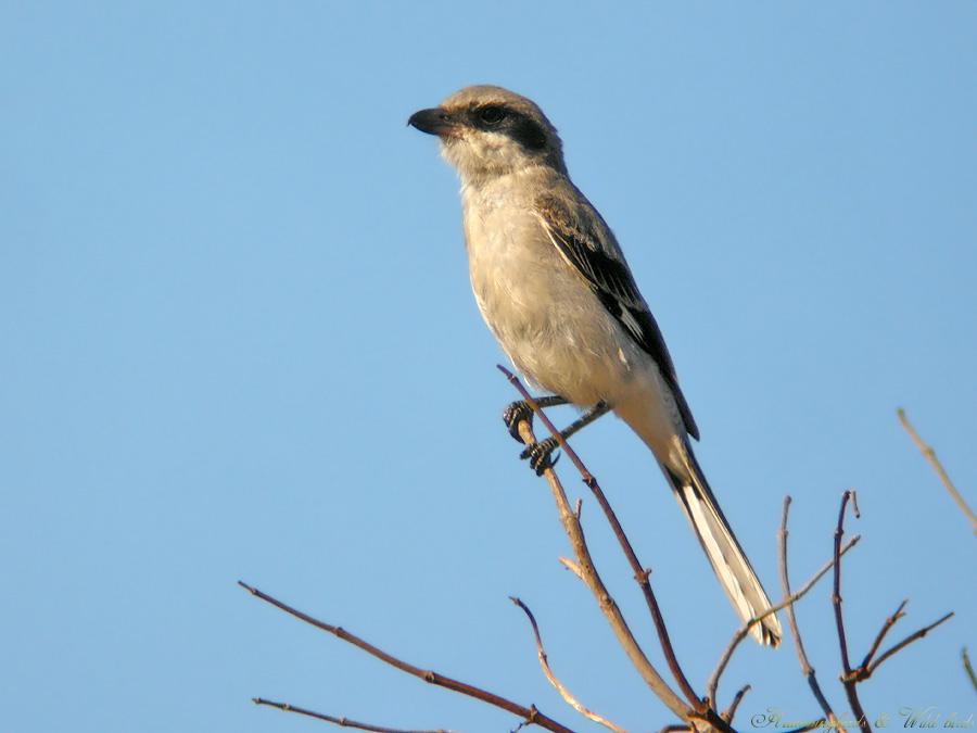 Loggerhead Shrike07091-7