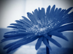 Rhapsody in blue (EXPLORE # 177 JULY 13, 2009) (Gilbert Rondilla) Tags: camera flowers blue plants house plant flower color macro texture nature up closeup photomanipulation photoshop garden polaroid photography photo close tritone philippines explore retreat gerbera daisy bloom gilbert filipino duotone tagaytay notmycamera asteraceae own pinoy sonchus borrowedcamera oss oleraceus novitiate tagaytaycity rondilla i733 notmyowncamera polaroidi733 gilbertrondilla gilbertrondillaphotography luisianian polaroid7mpdigitalcamera sistersoblatesoftheholyspirit sistersoblates