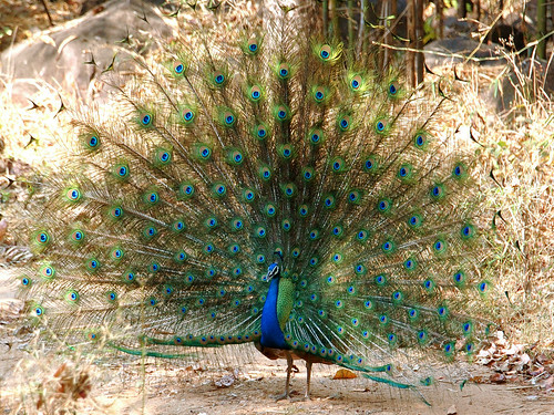 Peacock dancing in the wild