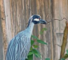 Arapapa/Taquiri (Wladimir Calado) Tags: blue birds fauna natureza pássaros amazônia sãocaetanodeodivelas arapapá incrediblenature naturewatcher taquiri llovemypic qualitypixels bichosdaamazônia taquerê