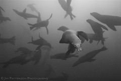 The Underwater Ballet - Carmel, California (Jim Patterson Photography) Tags: wild blackandwhite nature silhouette fur monterey eyes eyecontact underwater bigsur scuba diving whiskers housing flippers marinemammal fins encounter colony haulout pinniped strobes seasea aquatica carmelhighlands californiasealions zalophuscalifornianus nikkor1224mm nikond200 zalophus mbnms lobosrocks montereybaynationalmarinesanctuary beneathblueseas jimpattersonphotography jimpattersonphotographycom seatosummitworkshops seatosummitworkshopscom