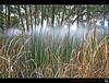 Bullrushes In The Mist (tomraven) Tags: trees mist green geotagged gold interestingness australia explore canberra frontpage hdr swimminghole nga bullrushes bullrush aug13 explorefrontpage explorefp tomraven aravenimage q309 geo:lat=35300166 geo:lon=149138224