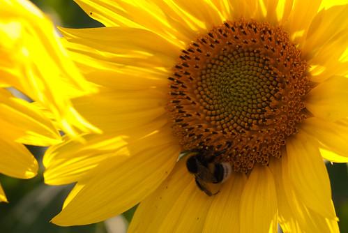 Sonnenblumenbesuccher