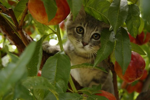 hiding in the fruit trees