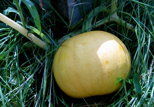 White pumpkin, still maturing