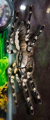 CD449 Black and White Tarantula (listentoreason) Tags: usa nature animal closeup america canon spider newjersey unitedstates arachnid favorites places tarantula animalia arthropoda arachnida invertebrate arthropod theraphosidae araneae tomsriver chelicerata mygalomorphae ef28135mmf3556isusm score30 bugmuseum insectropolis theraphosoidea bugseum