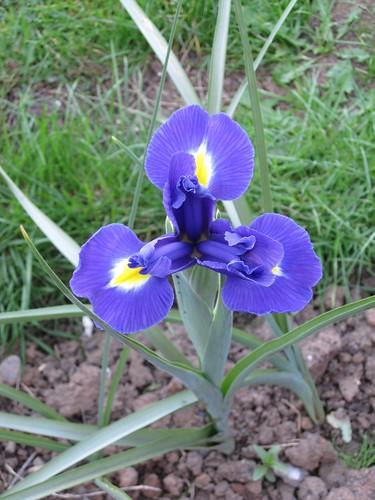 lilies0088