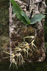 Rhinerrhiza divitiflora (cskk) Tags: red yellow stripes australian australia orchidaceae nsw queensland species nativeplant australianrainforestplants nswrfp qrfp raspyrootorchid rhinerrhizadivitiflora rhinerrhiza divitiflora arfepiphyte arflithophyte arfflowers creamarfflowers