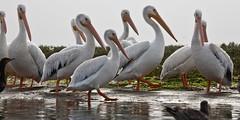American White Pelican flock, Pelecanus erythr...