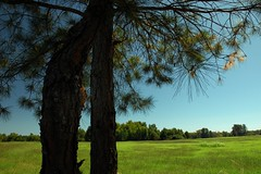 2009:10:03__13:31:02 (MilkaWay) Tags: blue green bluesky pines pasture 365 2009 pinetrees greenecounty siloam day276 aphotoaday bleen ruralgeorgia summerintofall p3652009 sawdustcemetery adjacentpasture