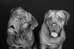 Urban Dogs (Back in the Pack) Tags: portrait dog calgary dogs puppy 5d ringlight margaux boudreaux dogdaycare doguedebordeaux frenchmastiff 2470mmf28l 5dmarkii wwwbackinthepackca eos5dmarkii urbandogmarket albertabarks